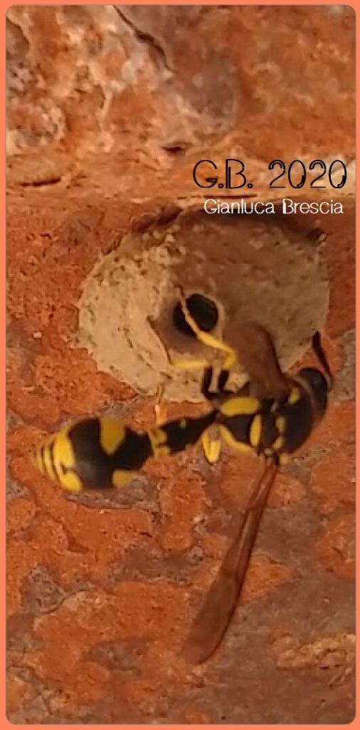Figura 4: Vespa Phimenes flavopictus con il suo nido in costruzione (Fonte: foto dell'autore, 2020)